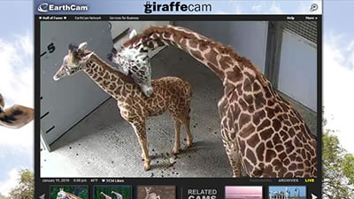 Greenville Zoo - Giraffe Time-Lapse